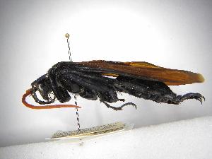 (Pepsis tricuspidata - INBIOCRI000188441)  @11 [ ] Copyright (2012) Braulio Hernandez Instituto Nacional de Biodiversidad