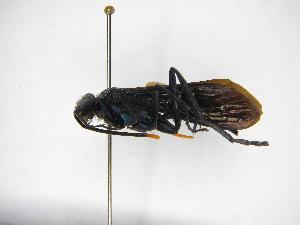 (Pepsis festiva - INBIOCRI000305591)  @11 [ ] Copyright (2012) Braulio Hernandez Instituto Nacional de Biodiversidad