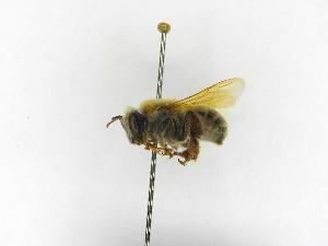 ( - INBIOCRI000401419)  @11 [ ] Copyright (2012) Braulio Hernandez Instituto Nacional de Biodiversidad