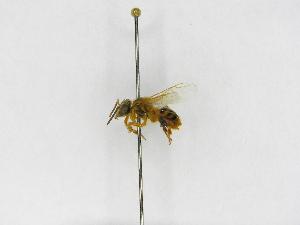 (Tetragona - INBIOCRI000456245)  @13 [ ] Copyright (2012) Braulio Hernandez Instituto Nacional de Biodiversidad