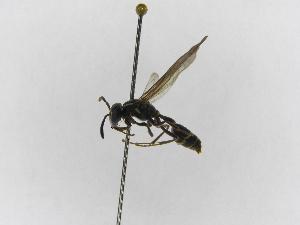 (Polybia diguetana - INBIOCRI000466813)  @13 [ ] Copyright (2012) Braulio Hernandez Instituto Nacional de Biodiversidad