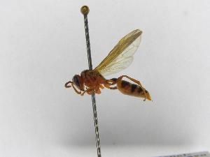 (Polybia emaciata - INBIOCRI000711682)  @11 [ ] Copyright (2012) Braulio Hernandez Instituto Nacional de Biodiversidad