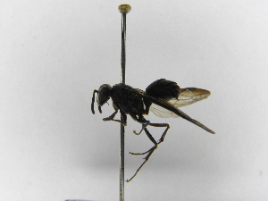 (Polybia simillima - INBIOCRI000747056)  @13 [ ] Copyright (2012) Braulio Hernandez Instituto Nacional de Biodiversidad