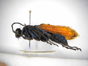 (Pepsis terminata - INBIOCRI000757605)  @11 [ ] Copyright (2012) Braulio Hernandez Instituto Nacional de Biodiversidad