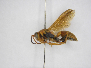 (Polistes dorsalis neotropicus - INBIOCRI000904750)  @14 [ ] Copyright (2012) Braulio Hernandez Instituto Nacional de Biodiversidad