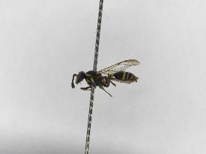 (Polybia diguetana - INBIOCRI000996578)  @13 [ ] Copyright (2012) Braulio Hernandez Instituto Nacional de Biodiversidad