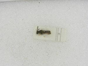 (Pereirapis - INBIOCRI000998290)  @11 [ ] Copyright (2012) Braulio Hernandez Instituto Nacional de Biodiversidad