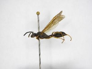 (Agelaia xanthopus - INBIOCRI001082623)  @11 [ ] Copyright (2012) Braulio Hernandez Instituto Nacional de Biodiversidad