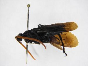 (Pepsis ianthina - INBIOCRI001090340)  @11 [ ] Copyright (2012) Braulio Hernandez Instituto Nacional de Biodiversidad