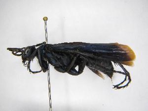 (Pepsis mexicana - INBIOCRI001090569)  @11 [ ] Copyright (2012) Braulio Hernandez Instituto Nacional de Biodiversidad