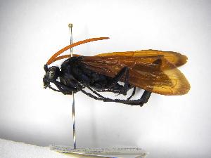 (Pepsis aquila - INBIOCRI001139806)  @11 [ ] Copyright (2012) Braulio Hernandez Instituto Nacional de Biodiversidad
