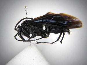 (Pepsis grossa - INBIOCRI001194782)  @11 [ ] Copyright (2012) Braulio Hernandez Instituto Nacional de Biodiversidad