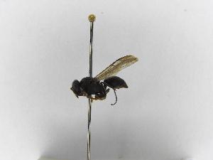 (Polybia scrobalis surinama - INBIOCRI001705650)  @13 [ ] Copyright (2012) Braulio Hernandez Instituto Nacional de Biodiversidad