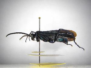 (Pepsis inbio.n.sp - INBIOCRI001812911)  @11 [ ] Copyright (2012) Braulio Hernandez Instituto Nacional de Biodiversidad