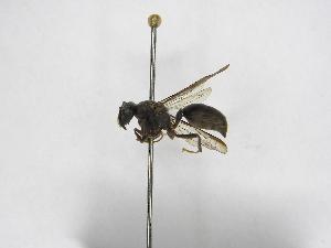 (Polybia bifasciata - INBIOCRI001845566)  @13 [ ] Copyright (2012) Braulio Hernandez Instituto Nacional de Biodiversidad