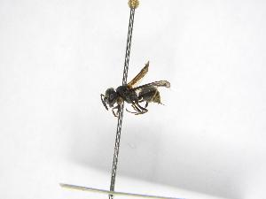 (Brachygastra scutellaris - INBIOCRI002120315)  @13 [ ] Copyright (2012) Braulio Hernandez Instituto Nacional de Biodiversidad