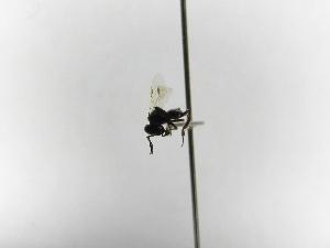 (Dolichotrigona - INBIOCRI002140899)  @11 [ ] Copyright (2012) Braulio Hernandez Instituto Nacional de Biodiversidad