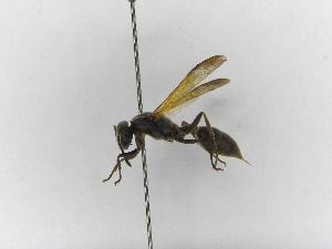 (Polybia rejecta - INBIOCRI002335191)  @13 [ ] Copyright (2012) Braulio Hernandez Instituto Nacional de Biodiversidad