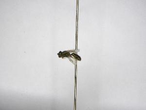 (Pereirapis - INBIOCRI002335335)  @11 [ ] Copyright (2012) Braulio Hernandez Instituto Nacional de Biodiversidad