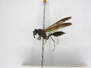 (Polybia aequatorialis - INBIOCRI002365178)  @11 [ ] Copyright (2012) Braulio Hernandez Instituto Nacional de Biodiversidad