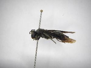 (Polistes aterrimus - INBIOCRI002395040)  @13 [ ] Copyright (2012) Braulio Hernandez Instituto Nacional de Biodiversidad
