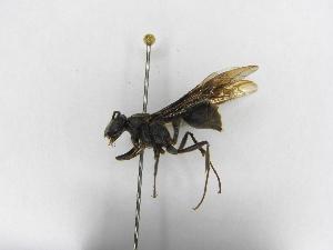 (Polybia tinctipennis tinctipennis - INBIOCRI002416392)  @13 [ ] Copyright (2012) Braulio Hernandez Instituto Nacional de Biodiversidad