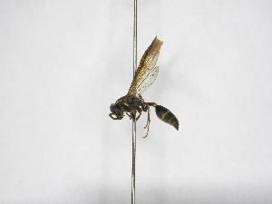 (Polybia aequatorialis tristis - INBIOCRI002425468)  @11 [ ] Copyright (2012) Braulio Hernandez Instituto Nacional de Biodiversidad