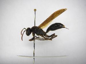 (Polistes deceptor - INBIOCRI002549282)  @13 [ ] Copyright (2012) Braulio Hernandez Instituto Nacional de Biodiversidad