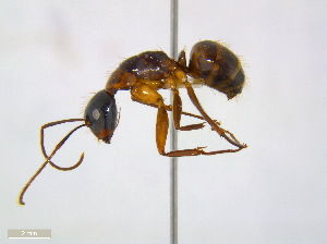 (Camponotus americanus - JJ-A5-01)  @14 [ ] CreativeCommons - Attribution Non-Commercial Share-Alike (2011) M. Alex Smith Biodiversity Institute of Ontario