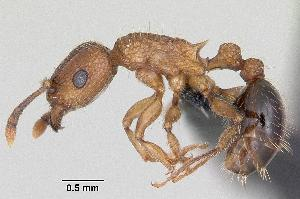 (Tetramorium pacificum - CASENT0060333-D02)  @14 [ ] Unspecified (default): All Rights Reserved  Unspecified Unspecified