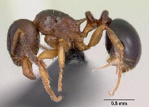 (Tetramorium humbloti - CASENT0059691-D01)  @14 [ ] Unspecified (default): All Rights Reserved  Unspecified Unspecified
