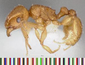 (Tetramorium simillimum - CASENT0060697-D01)  @14 [ ] Unspecified (default): All Rights Reserved  Unspecified Unspecified