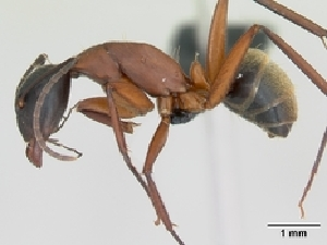 (Camponotus aurosus - CASENT0056479-D01)  @13 [ ] CreativeCommons - Attribution Non-Commercial No Derivatives (2011) Alex Smith University of Guelph