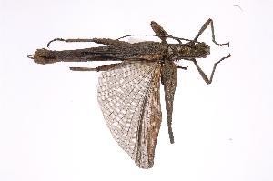 (Heteronemiidae - INB0003353589)  @13 [ ] Copyright (2012) I. Cruz Instituto Nacional de Biodiversidad
