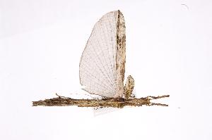 (Damasippoididae - INBIOCRI000085084)  @13 [ ] Copyright (2012) I. Cruz Instituto Nacional de Biodiversidad