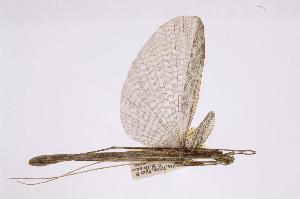 (Pseudophasmatidae - INBIOCRI000499886)  @13 [ ] Copyright (2012) I. Cruz Instituto Nacional de Biodiversidad