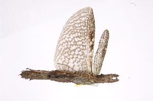 (Damasippoididae - INBIOCRI000554792)  @13 [ ] Copyright (2012) I. Cruz Instituto Nacional de Biodiversidad