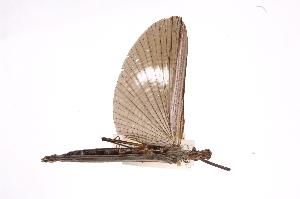 (Pseudophasmatidae - INBIOCRI002422506)  @13 [ ] Copyright (2012) I. Cruz Instituto Nacional de Biodiversidad