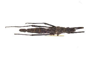 (Phylliidae - INBIOCRI002423688)  @12 [ ] Copyright (2012) I. Cruz Instituto Nacional de Biodiversidad