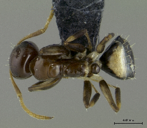 (Camponotus aurelianus - HP0017)  @14 [ ] CreativeCommons - Attribution Non-Commercial Share-Alike (2011) Milan Janda Czech Academy of Sciences