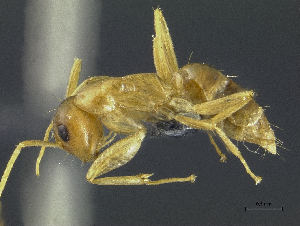(Camponotus macrocephalus sp. A PK_CAMP 010 - HP0031)  @14 [ ] CreativeCommons - Attribution Non-Commercial Share-Alike (2011) Milan Janda Czech Academy of Sciences