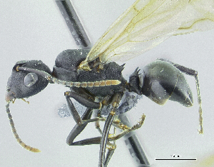 (Polyrhachis aff. aequalis - HP0042)  @14 [ ] by-nc-sa - Creative Commons - Attribution Non-Comm Share-Alike (2011) Milan Janda Czech Academy of Sciences