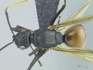 (Polyrhachis alphea rufiventris - HP0044)  @15 [ ] CreativeCommons - Attribution Non-Commercial Share-Alike (2011) Milan Janda Czech Academy of Sciences