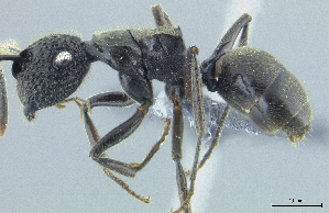 (Polyrhachis sp. nov. PK_POLY 014 - HP0076)  @15 [ ] by-nc-sa - Creative Commons - Attribution Non-Comm Share-Alike (2011) Milan Janda Czech Academy of Sciences