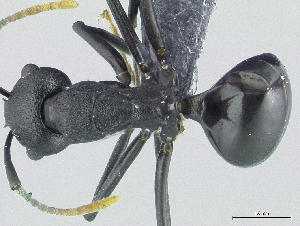 (Polyrhachis menozzii - HP0103)  @15 [ ] by-nc-sa - Creative Commons - Attribution Non-Comm Share-Alike (2011) Milan Janda Czech Academy of Sciences