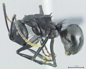 (Polyrhachis menozzii - HP0103)  @15 [ ] CreativeCommons - Attribution Non-Commercial Share-Alike (2011) Milan Janda Czech Academy of Sciences