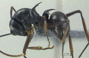 (Polyrhachis mucronata - HP0117)  @14 [ ] CreativeCommons - Attribution Non-Commercial Share-Alike (2011) Milan Janda Czech Academy of Sciences