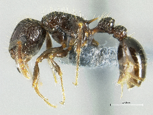(Tetramorium validisculum sp. group PK_TETR 008 - HP0127)  @13 [ ] CreativeCommons - Attribution Non-Commercial Share-Alike (2011) Milan Janda Czech Academy of Sciences