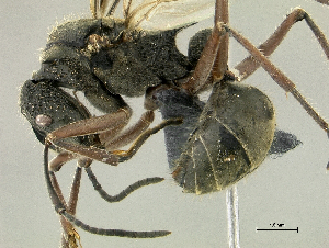 (Polyrhachis aff. bubastes PK_POLY 023 - HP0145)  @15 [ ] CreativeCommons - Attribution Non-Commercial Share-Alike (2011) Milan Janda Czech Academy of Sciences