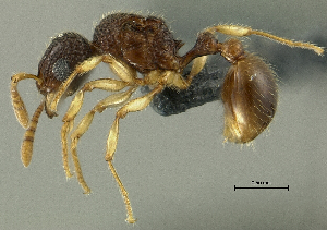 (Tetramorium cf. pulchellum sp. B PK_TETR 016 - HP0147)  @14 [ ] CreativeCommons - Attribution Non-Commercial Share-Alike (2011) Milan Janda Czech Academy of Sciences